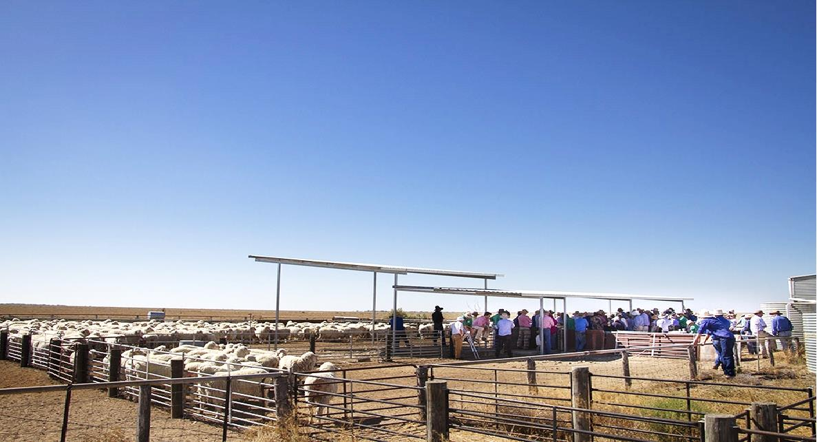 Peppin-Shaw Ewe Flock Forum